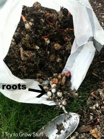 stinkhorn roots